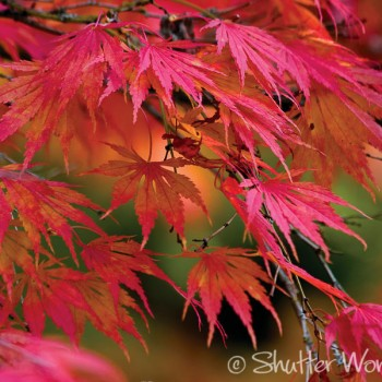 Shutter Wonders Photography Greeting Card - Japanese maple fall color