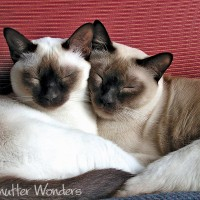 Shutter Wonders Photography Greeting Card - Tonkinese cats curled up by a red pillow.