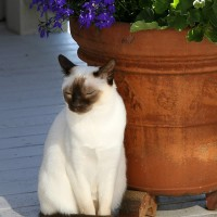 Shutter Wonders Photography Greeting Card - A tonkinese cat in the warm sun, by a flower pot.