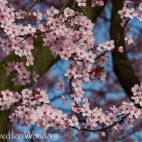 Shutter Wonders Photography Greeting Card - Cherry blossoms