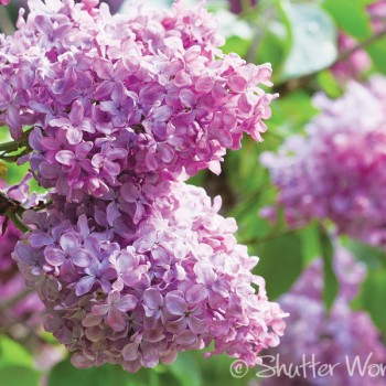 Shutter Wonders Photography Greeting Card - Fragrant pink lilacs.