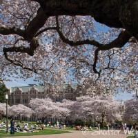 Shutter Wonders Photography Greeting Card - Cherry trees in the University of Washington quad