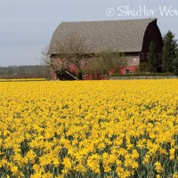 Shutter Wonders Photography Greeting Card - Skagit Valley daffodils and a barn