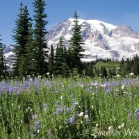 Mt. Rainier and wildflowers