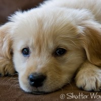 Shutter Wonders Photography Greeting Card - A Golden Retriever puppy's sweet charm