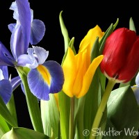 Shutter Wonders Photography Greeting Card - Blue irises and yellow and red tulips