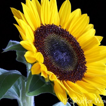 Shutter Wonders Photography Greeting Card - Cheerful yellow sunflower