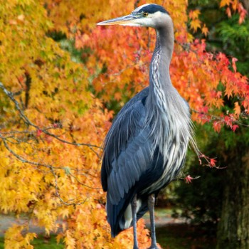 Shutter Wonders Photography Greeting Card - Great Blue Heron in the Japanese Garden