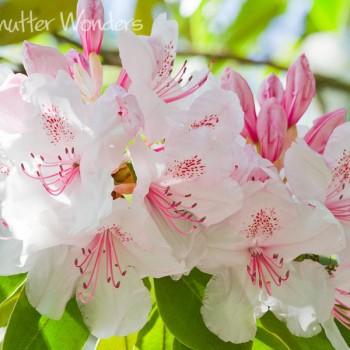 Shutter Wonders Photography Greeting Card - Rhododendron in Volunteer Park