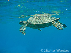 Green sea turtle comes up for air on a perfect Hawaii Day. This one was observed during a snorkeling expedition near Olowalu Beach, Maui. Shutter Wonders photographer Linda Enkema loves exploring the amazing landscapes and flowers of Seattle and the Pacific Northwest and printing her favorite images on high quality note cards and calendars. All cards are available blank, and some are greeting cards with birthday, sympathy, get well, and thinking of you messages. Linda creates CD-size Northwest Scenes and floral calendars each year with new images.