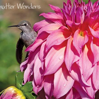 Shutter Wonders Photography Greeting Card - A Rufous Hummingbird on a dahlia flower in Volunteer Park, Seattle.