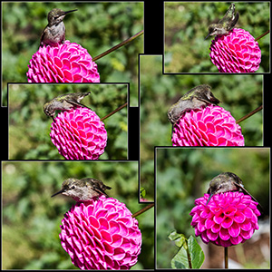 A Rufous Humminbird surprised me with her frolic and bath on pink dahlias in Volunteer Park, Seattle, Washington.  Shutter Wonders photographer Linda Enkema loves exploring the amazing landscapes and flowers of Seattle and the Pacific Northwest and printing her favorite images on high quality note cards and calendars. All cards are available blank, and some are greeting cards with birthday, sympathy, get well, and thinking of you messages. Linda creates CD-size Northwest Scenes and floral calendars each year with new images.