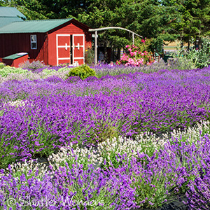 Lavender field and barn in Sequim, Washington