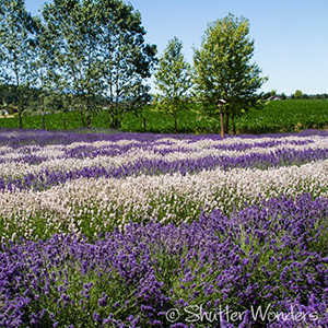 Lavender farms in Sequim, Washington