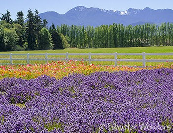 Shutter Wonders photography greeting card - lavender & Olympic Mtns.