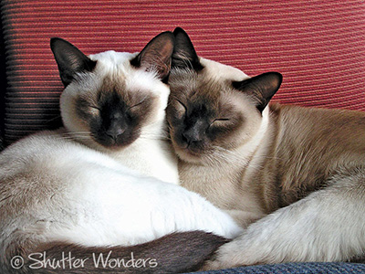 Two Tonkinese cats cuddling