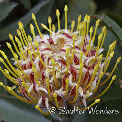 Pincushion Protea flower grown on Maui, Hawaii
