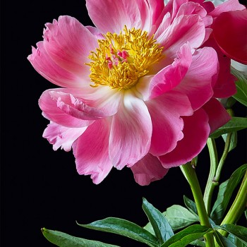 Photo note card of a peony