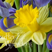 Shutter Wonders Photography Greeting Card - Daffodils and irises
